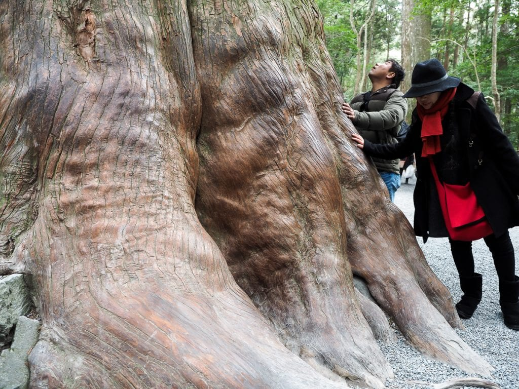 Huge cedars at Ise Grand Shrine