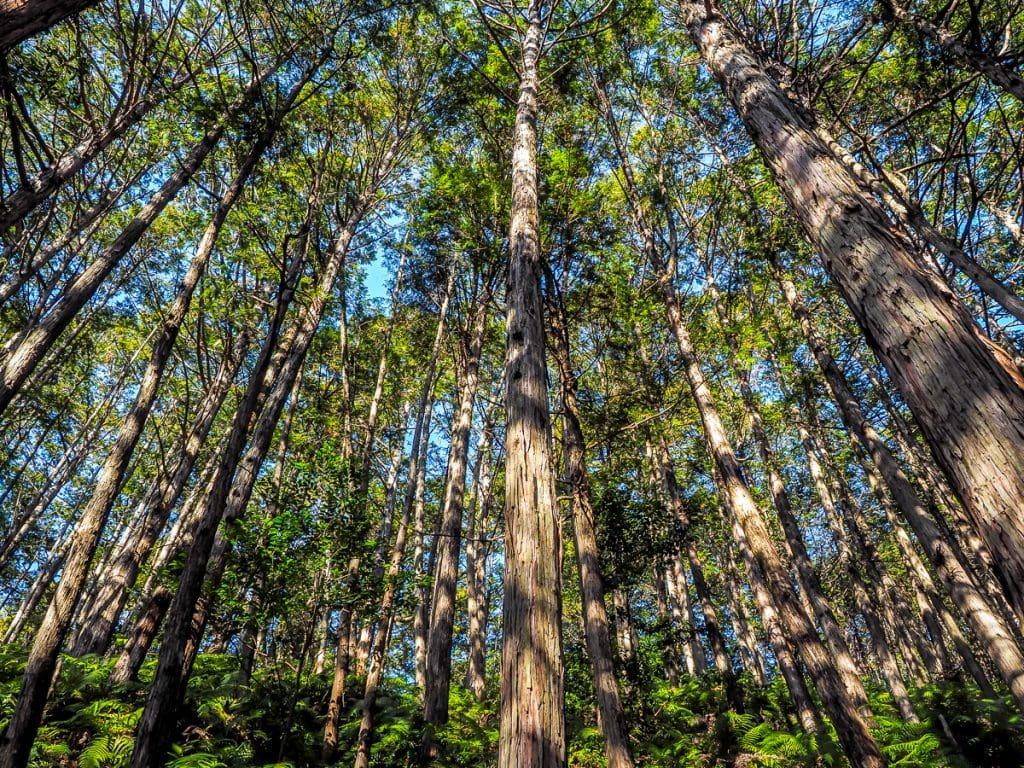 Cypress trees on Japan's Kumano Kodo pilgrimage