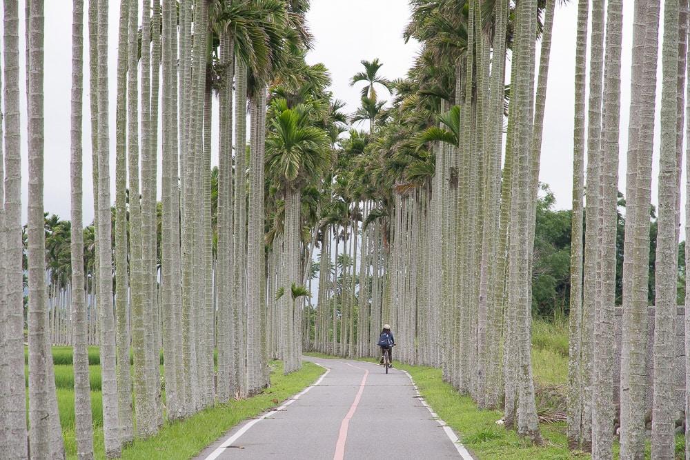 Aisle of Betel Nut Palms, Guanshan, Taitung