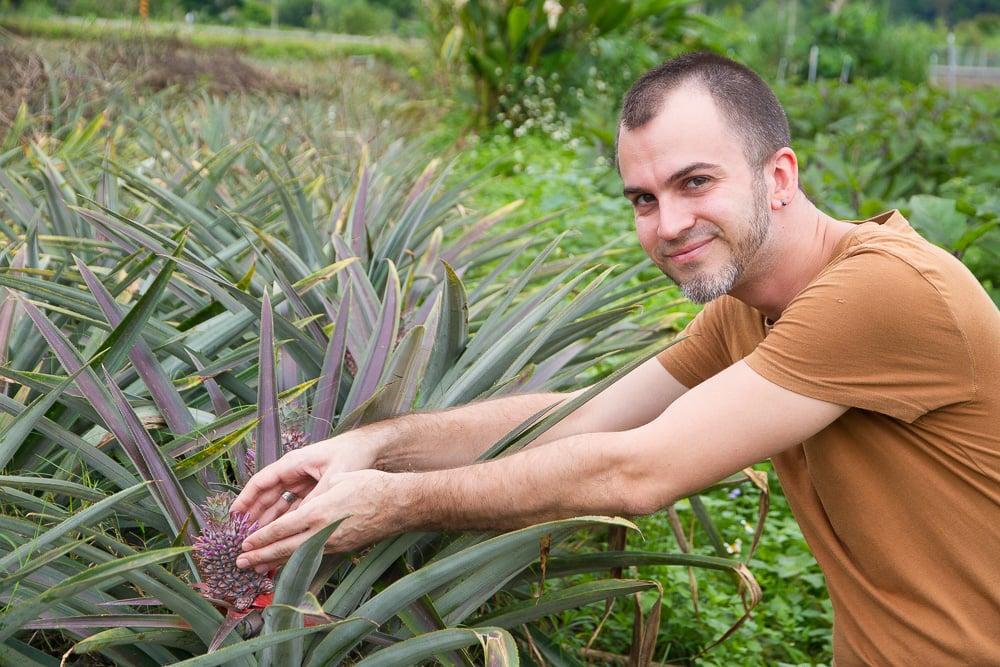 Pineapple, Taiwan