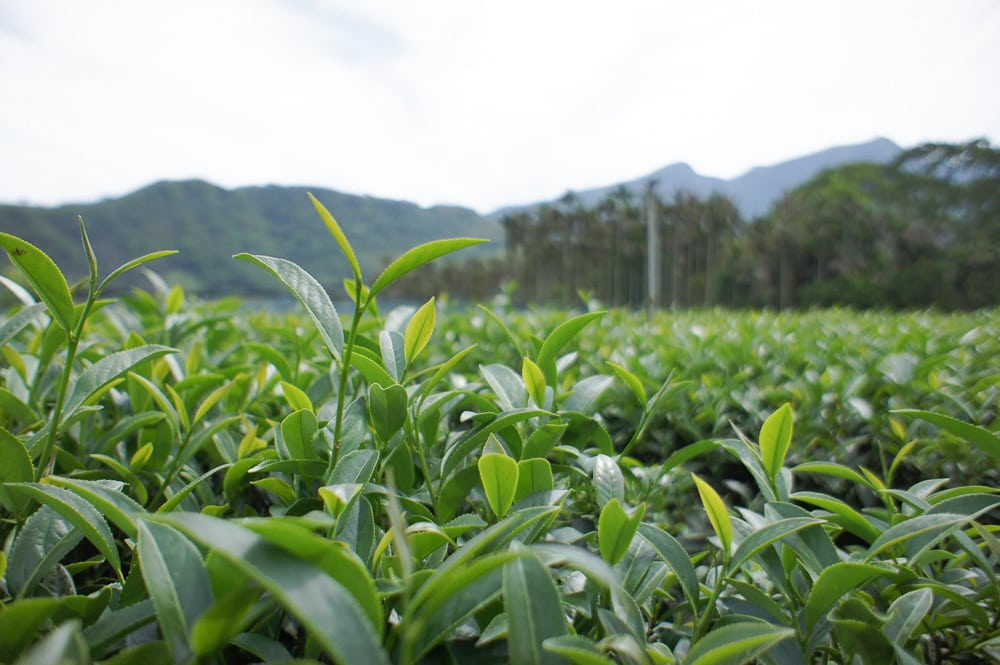 Tealeaves on tea plantation in Lugu, Taiwan