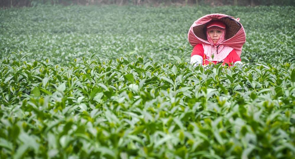 A worker on a field where Alishan tea is grown