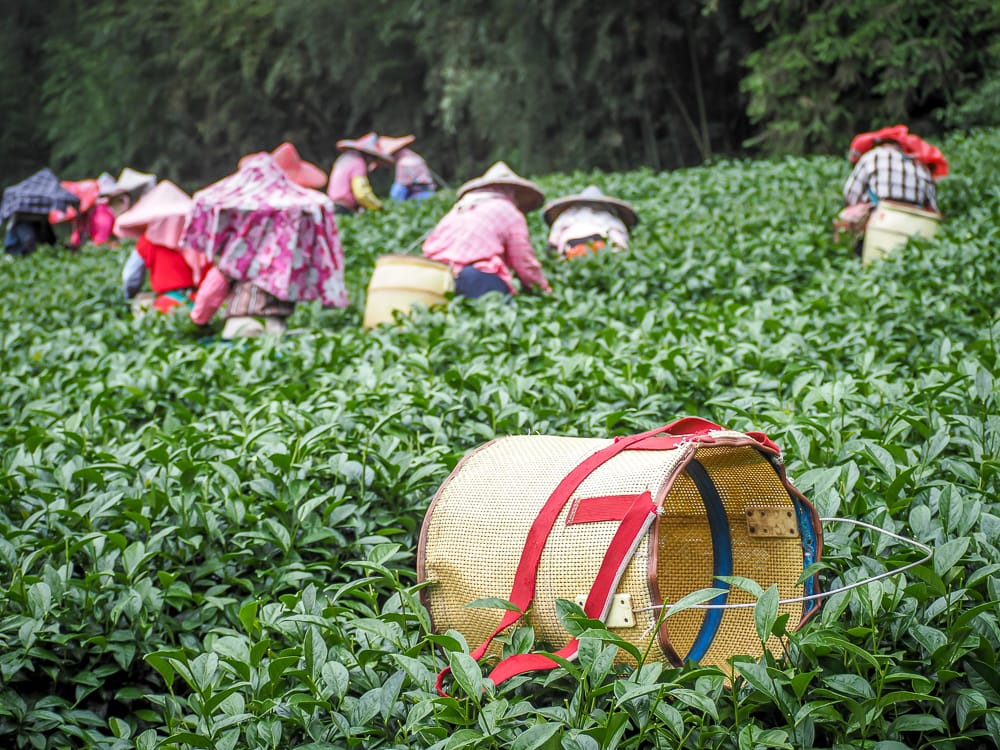 Alishan tea plantation in Shizhuo