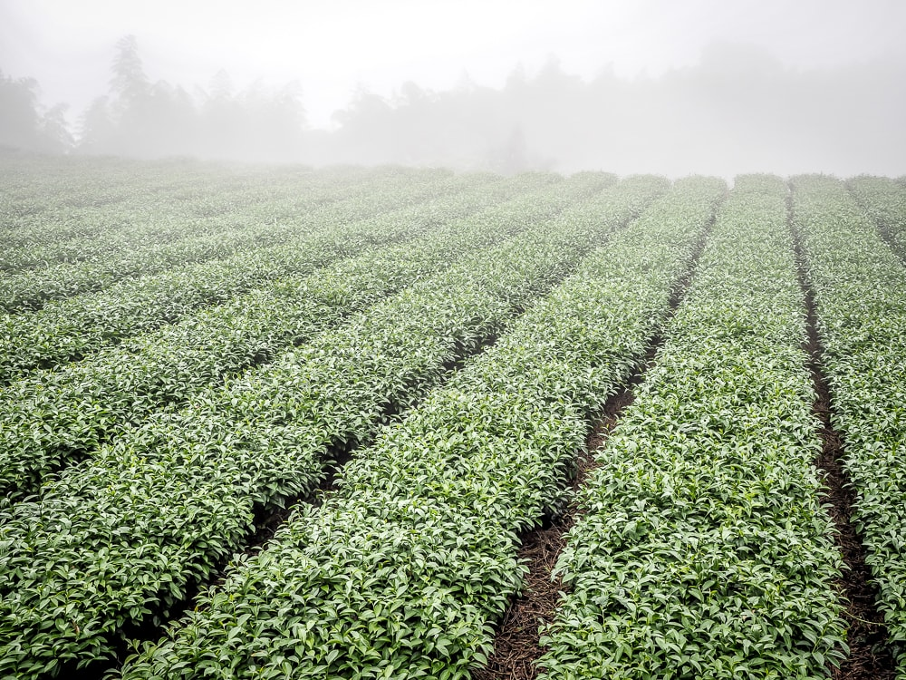 A foggy tea field in Shizhuo, Alishan
