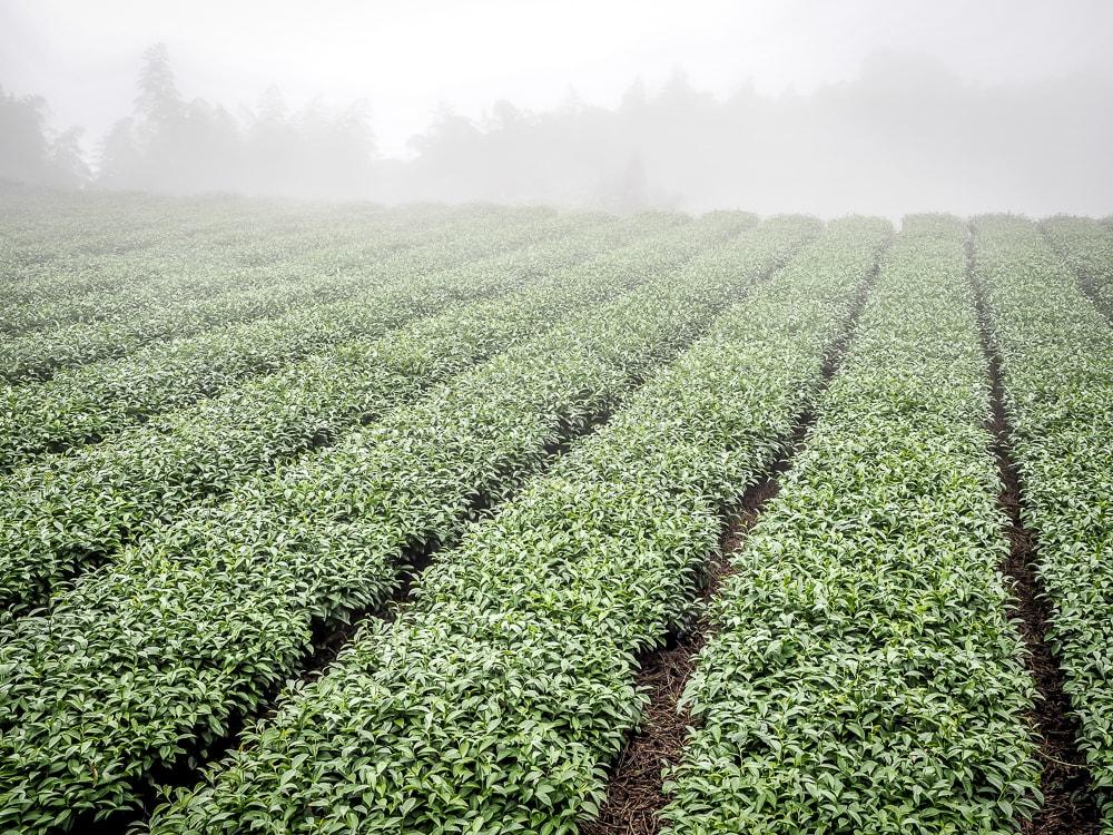 A foggy tea field in Shizhuo, Alishan