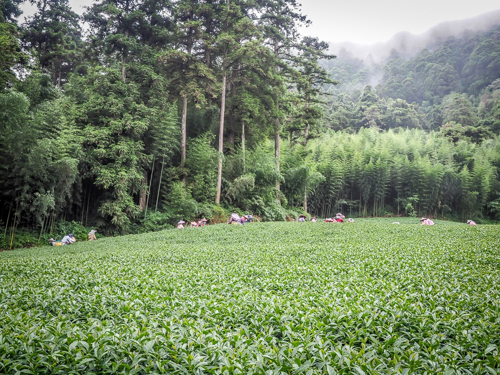 A field of Alishan high mountain tea being harvested