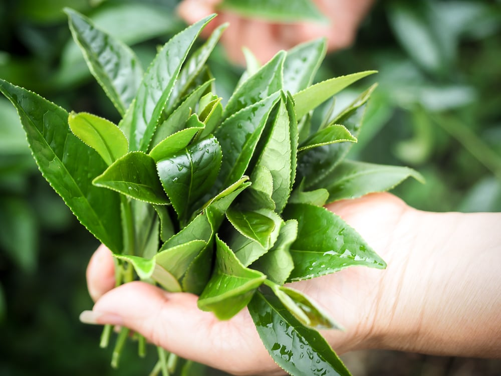 Fresh leaves of Alishan tea