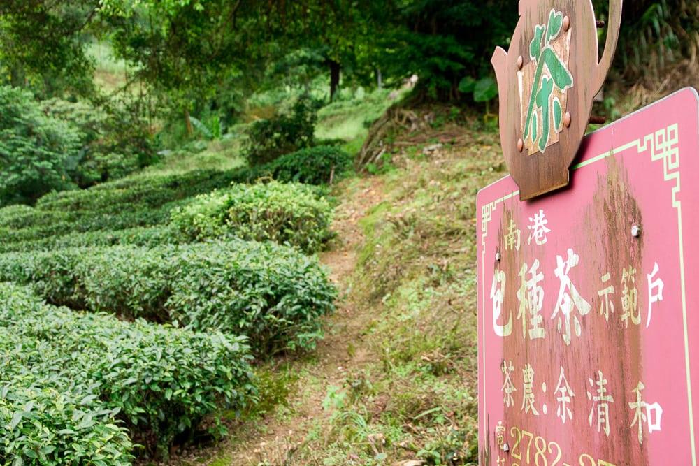 Baozhong (pouchong) tea field in Nangang, Taipei, Taiwan