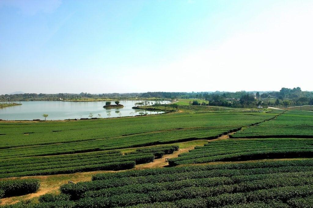 A thai Tea farm, Chiang Rai, Northern Thailand.