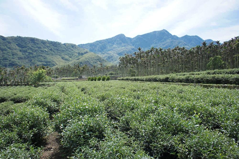 Dong ding tea plantation, Lugu, Taiwan