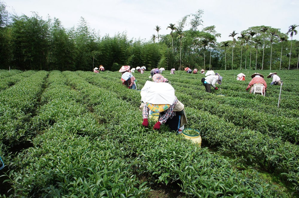 Workers in the tea field, Lugu, Taiwan