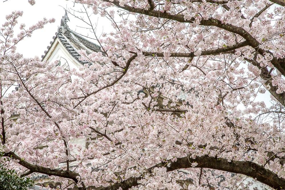 Cherry blossoms in Osaka, Japan