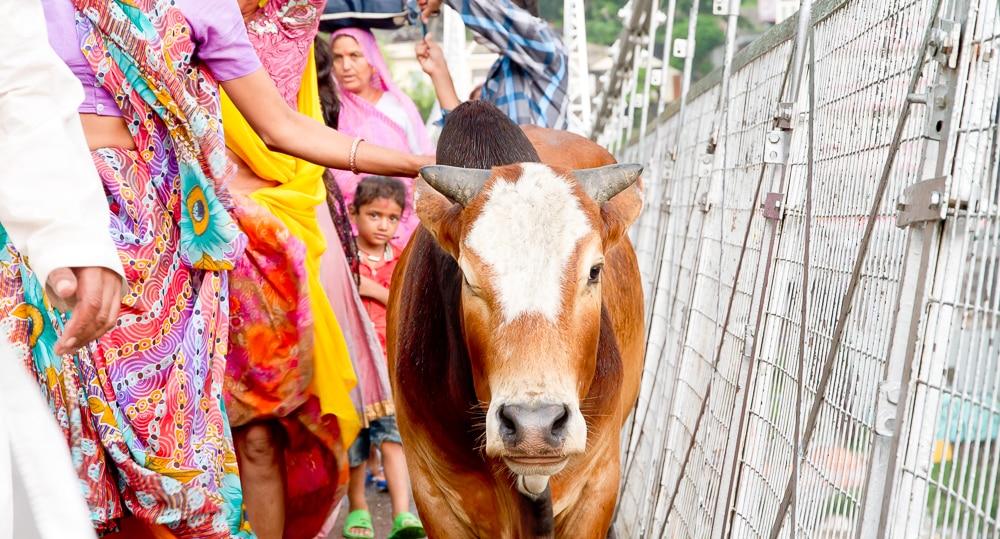 Rishikesh holy cow