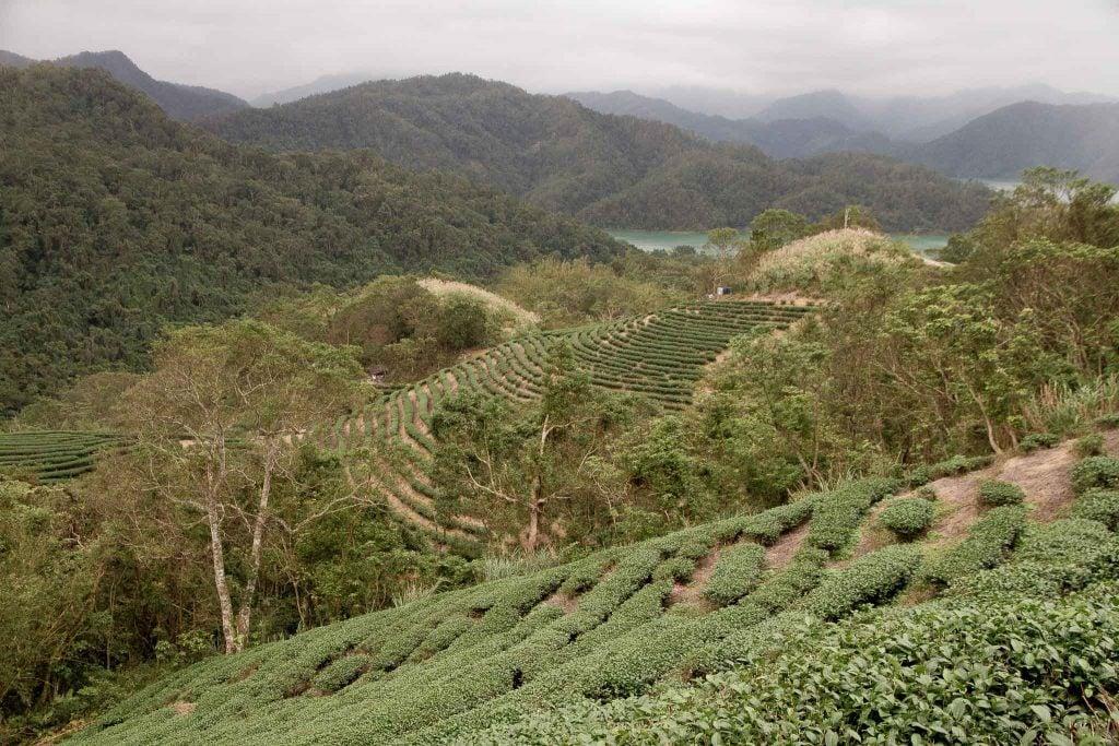 Shiding Bagua Tea Plantation, Taiwan