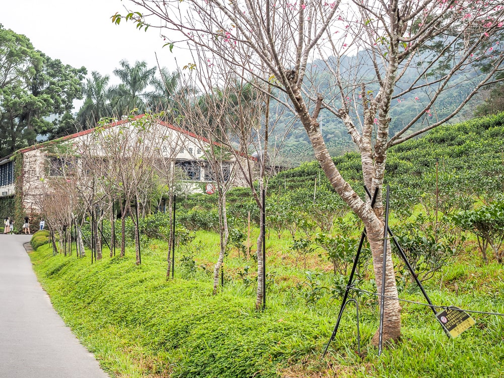 Ruby Red tea fields at Antique Assam Tea Farm, Sun Moon Lake
