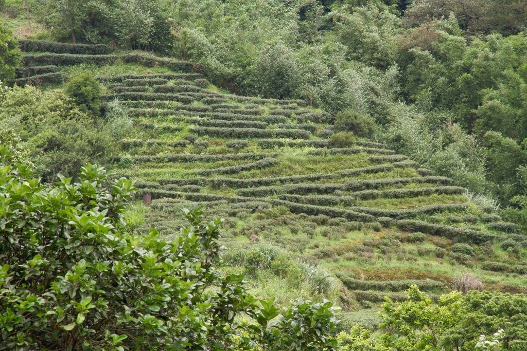 Terraced tea fields, Jiuzhuang, Nangang, Taipei, Taiwan