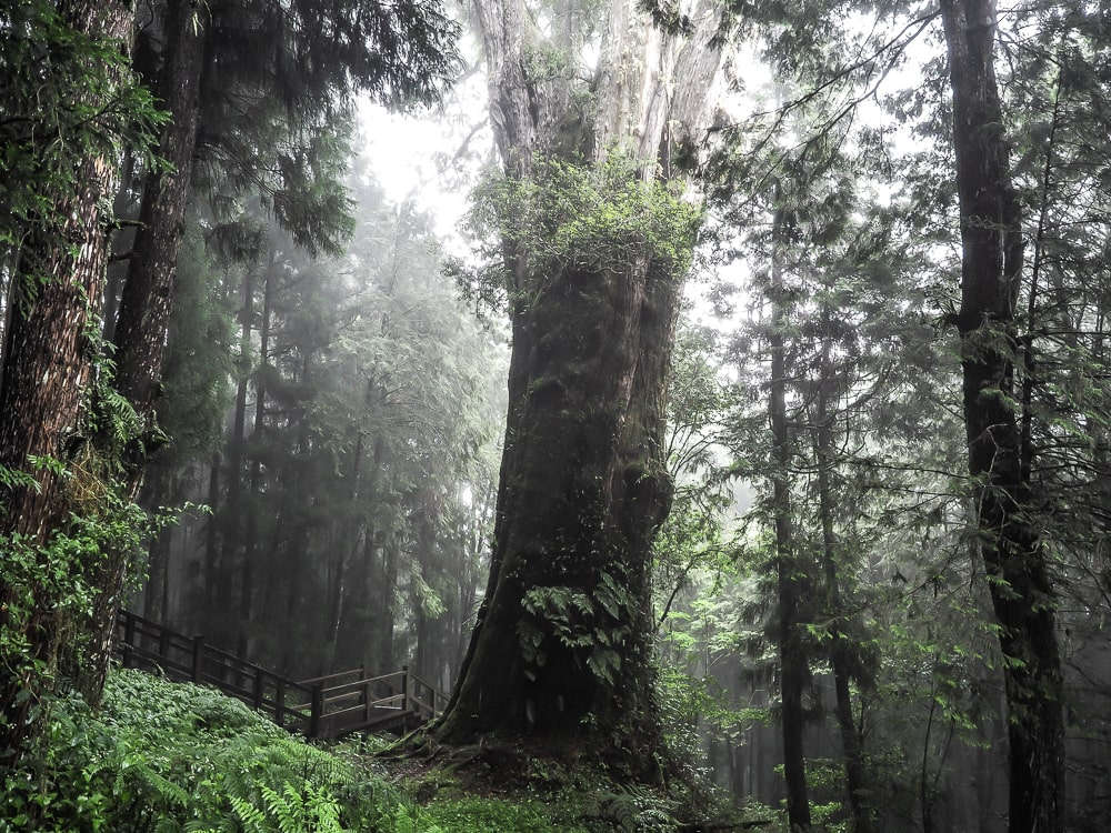 2300-year-old giant cypress tree at Alishan, Taiwan, near Shenmu Station
