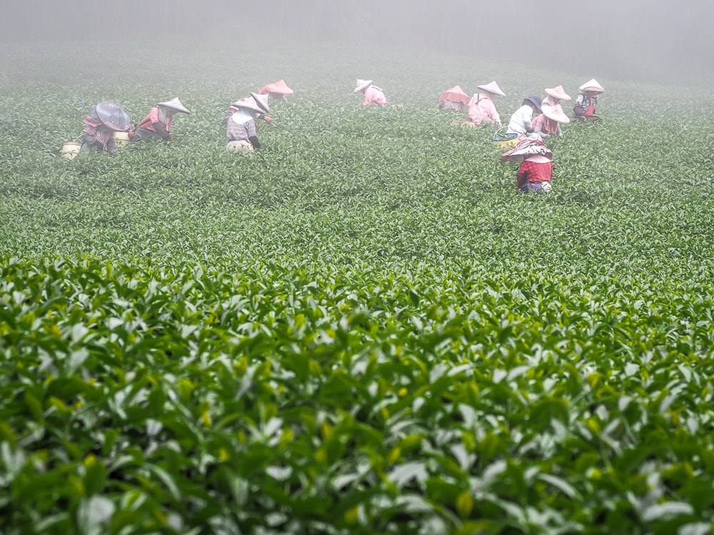 Tea plantation workers in Shizhuo