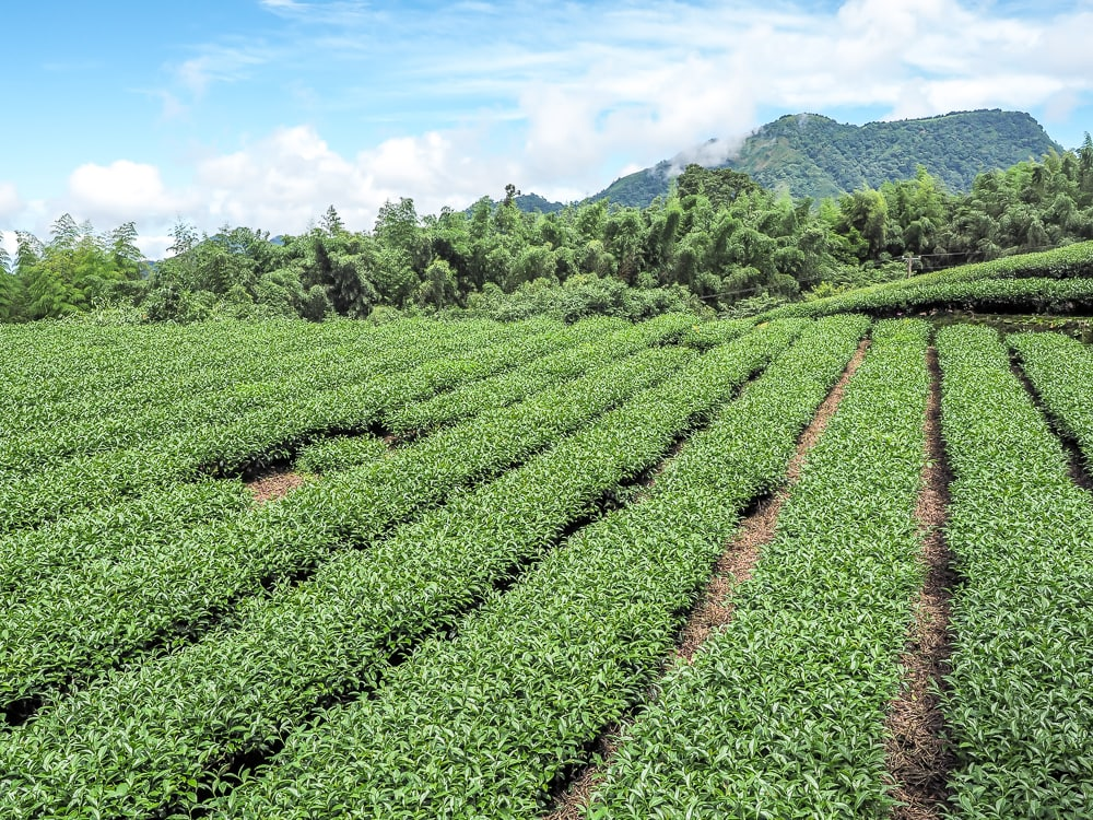An Alishan high mountain tea farm