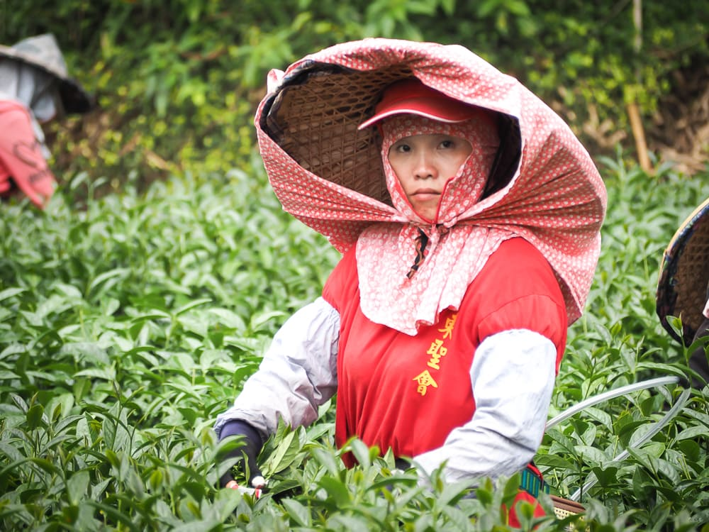 Tea picker on an Alishan high mountain tea farm