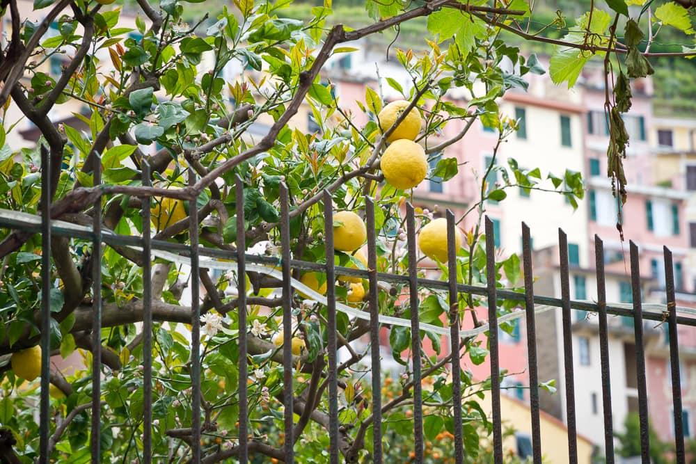 Lemons, Manarola, Cinque Terre