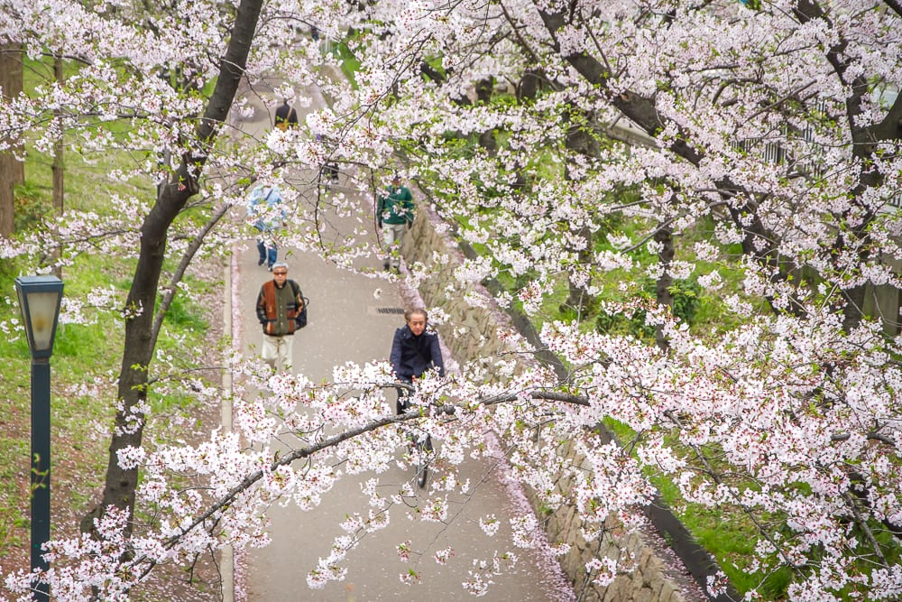 Kema Sakuranomiya Park sakura