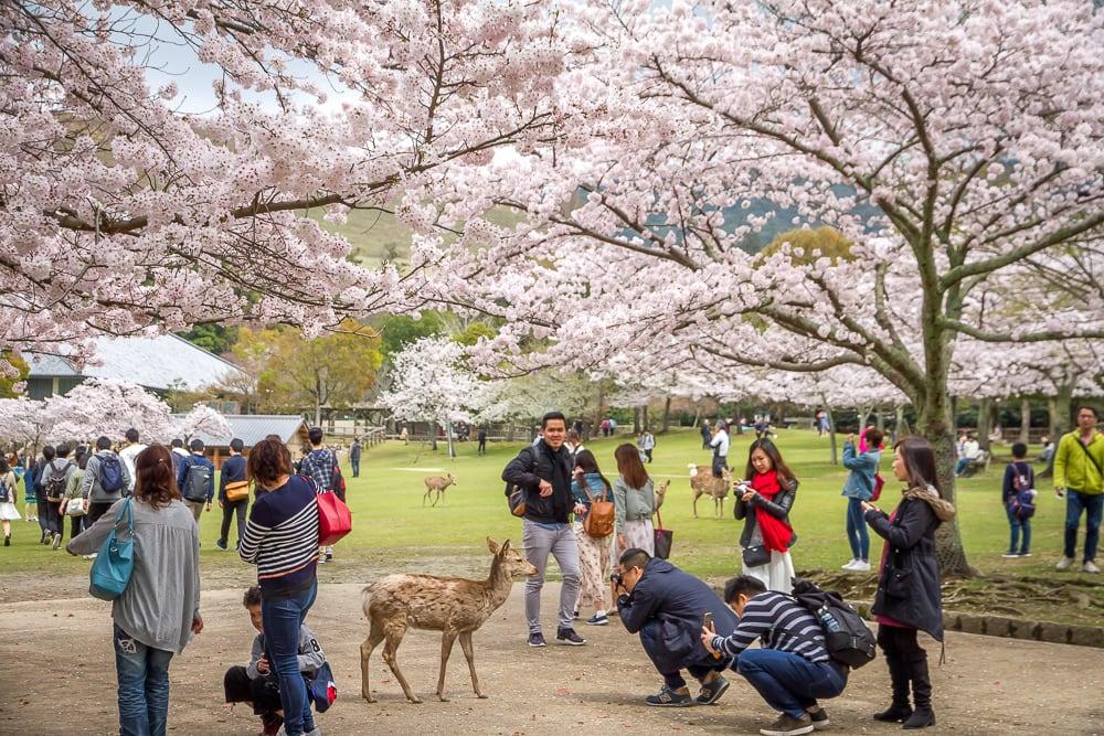 Cherry blossoms and deer at Nara Park
