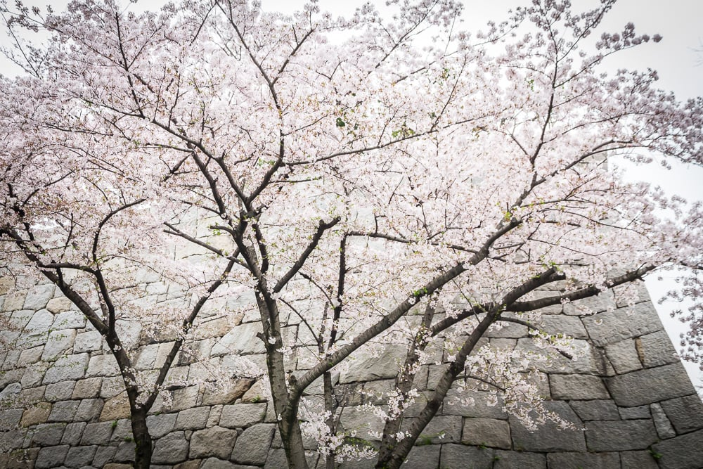 Cherry blossoms and stone wall at Osaka Castle