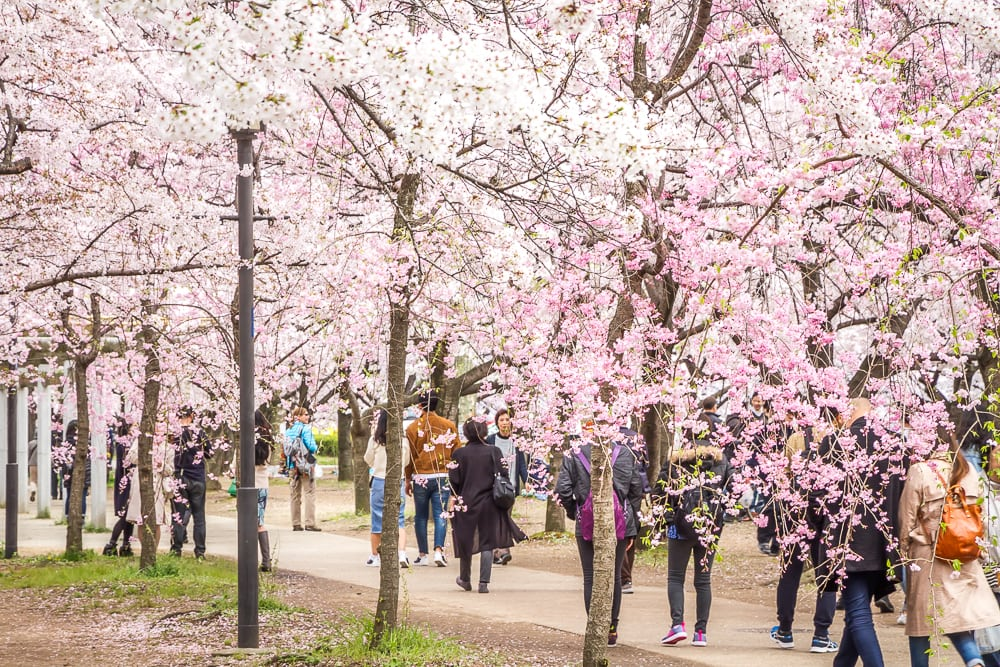 Path of cherry blossoms in Osaka Castle Park