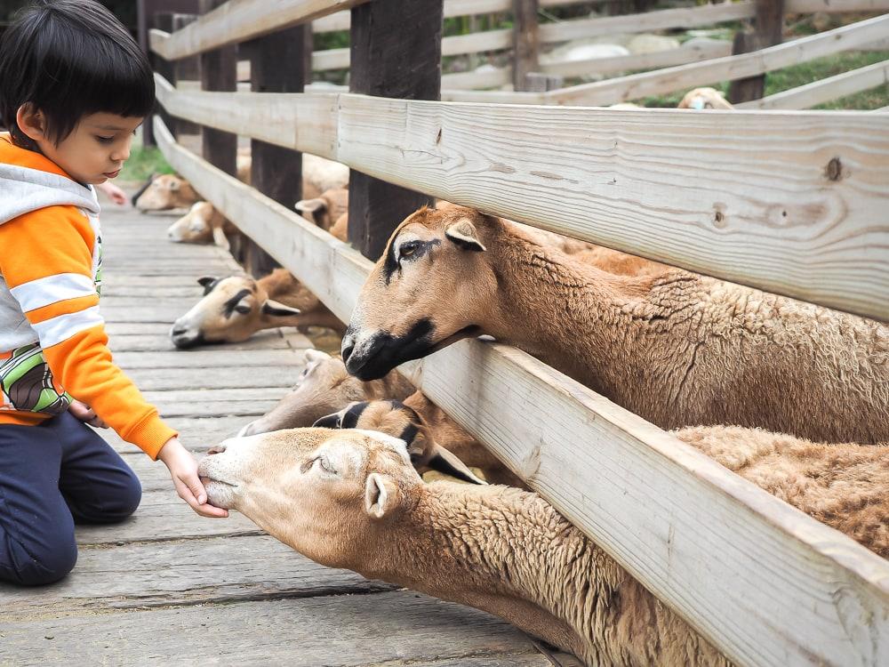 Feeding goats at Flying Cow Ranch, Miaoli