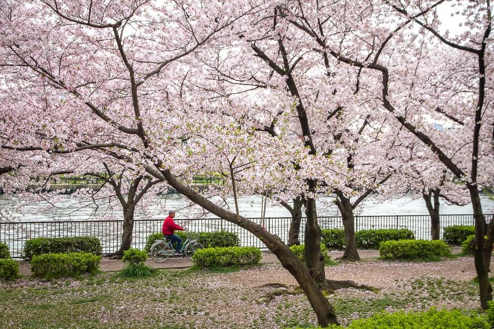 Cycling under cherry blossoms in Osaka's Kema Sakuranomiya Park