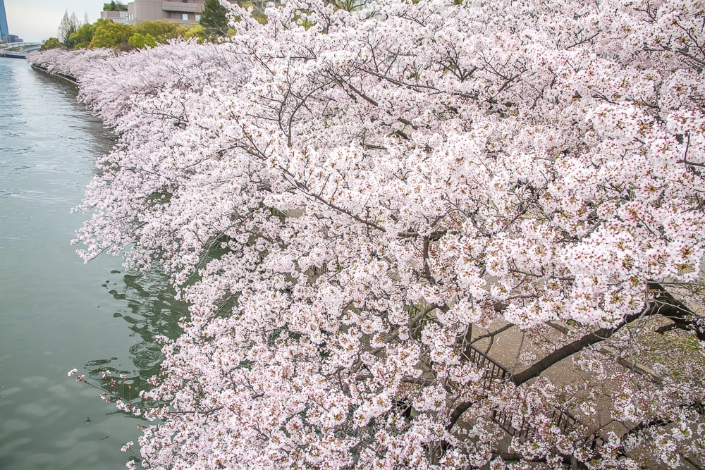 One of the best places to see sakura in Osaka, Kema Sakuranomiya Park