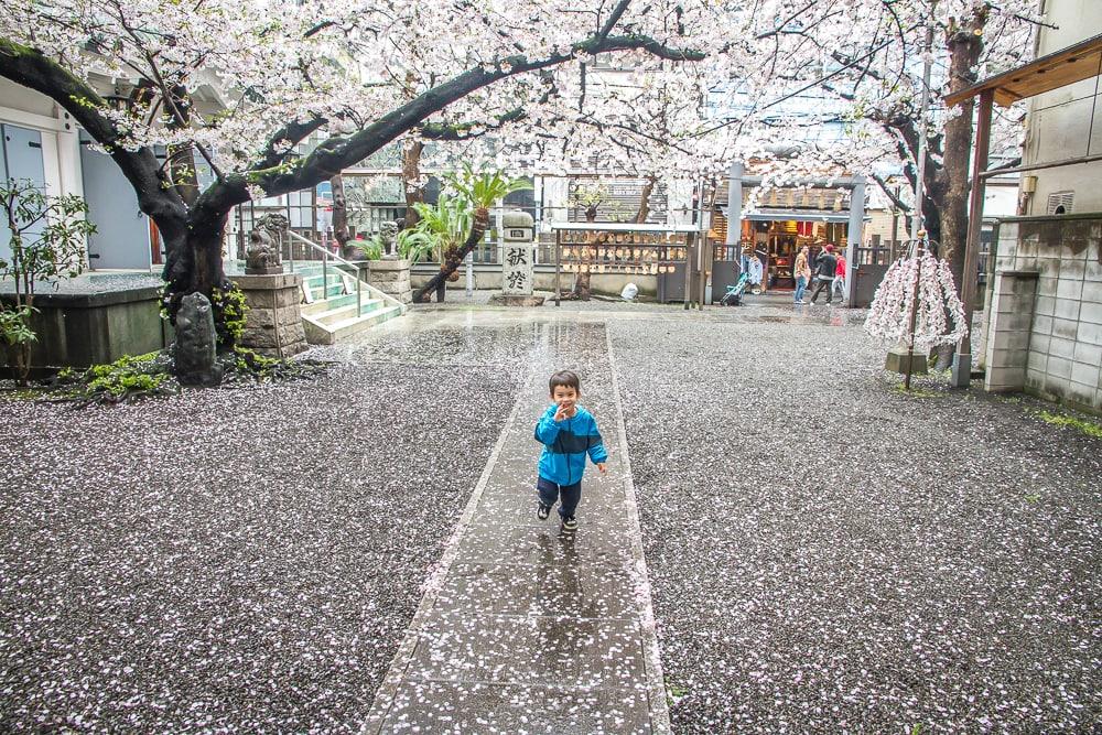 Cherry blossoms at Mitsuhachimangu shrine, Osaka