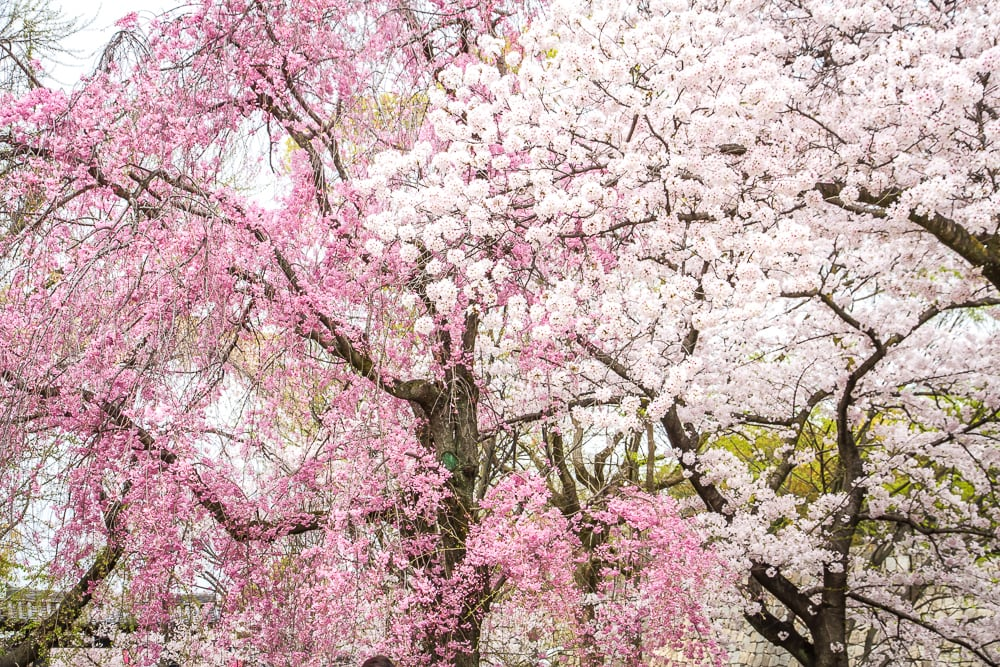 Osaka Mint Bureau cherry blossoms
