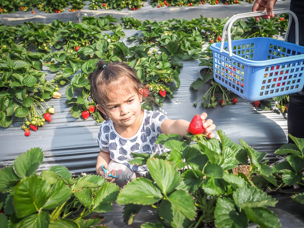 Picking strawberries in Dahu Miaoli
