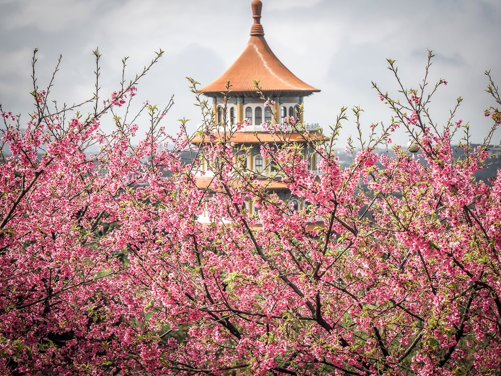 The best place to see cherry blossoms in Taipei: Tian Yuan Temple in Danshui