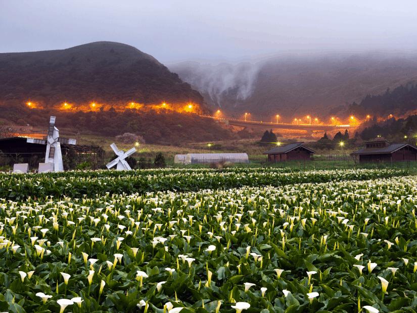 Calla lilies on Yangmingshan