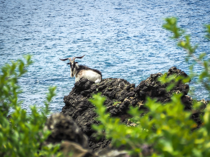 Handsome goat on Orchid Island Taitung