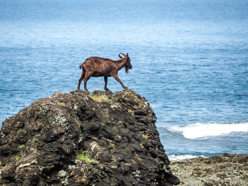 One more goat on Orchid Island