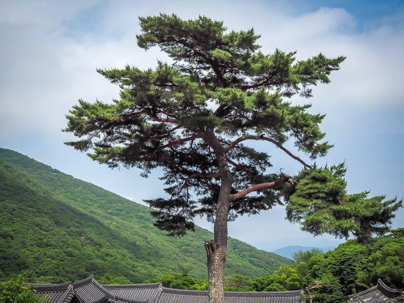 Beautiful tree at Beomeosa Temple