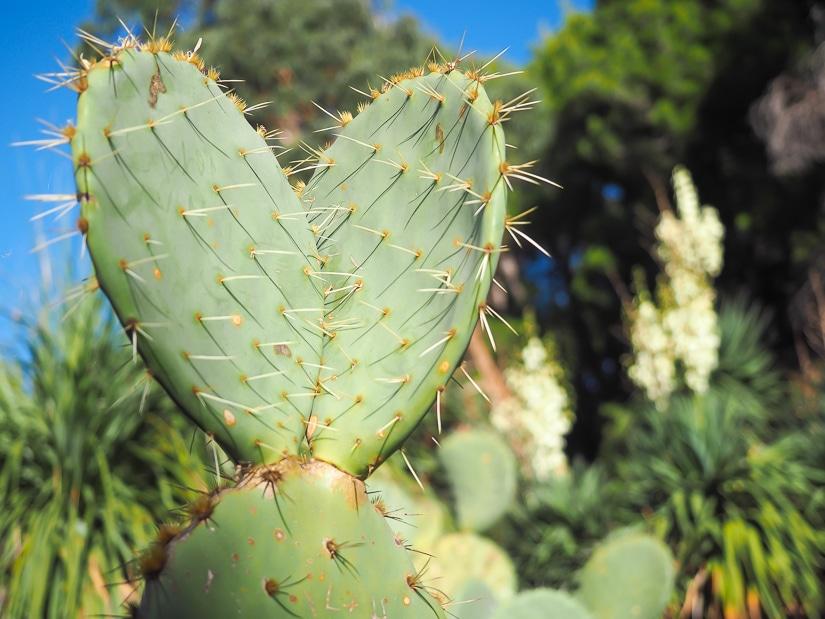 Cactus in Lokrum Botanical Garden
