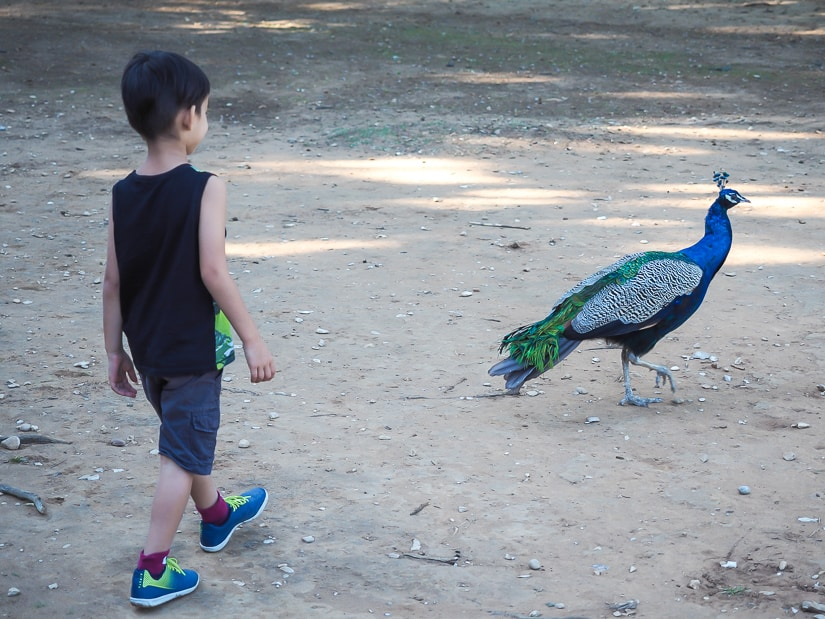 My son walking right behind a peacock on Lokrum Island