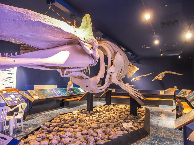 Skeleton of a whale at Muscat Natural History Museum Oman