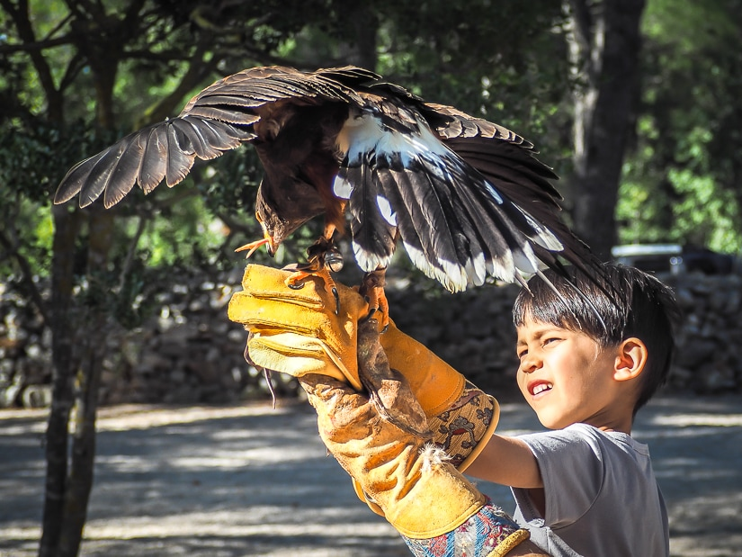 My son holding and feeding a hawk at the falcon center, one of the best places to visit in Croatia with children