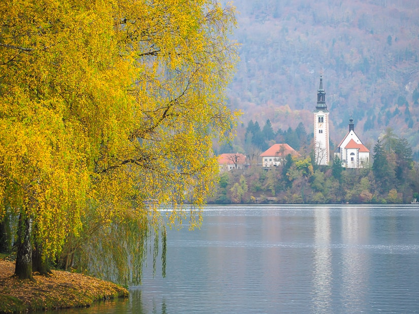 A tree with lots of yellow leaves beside Lake Bled, Slovenia in autumn