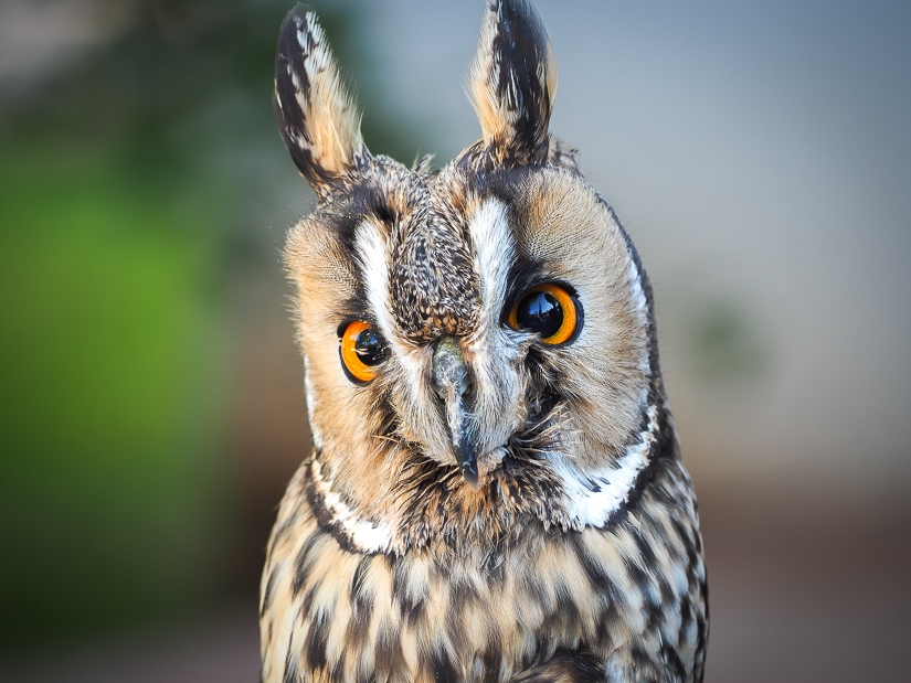 Owl at Sibenik Falconry Center, one of the best things to do in Croatia with kids