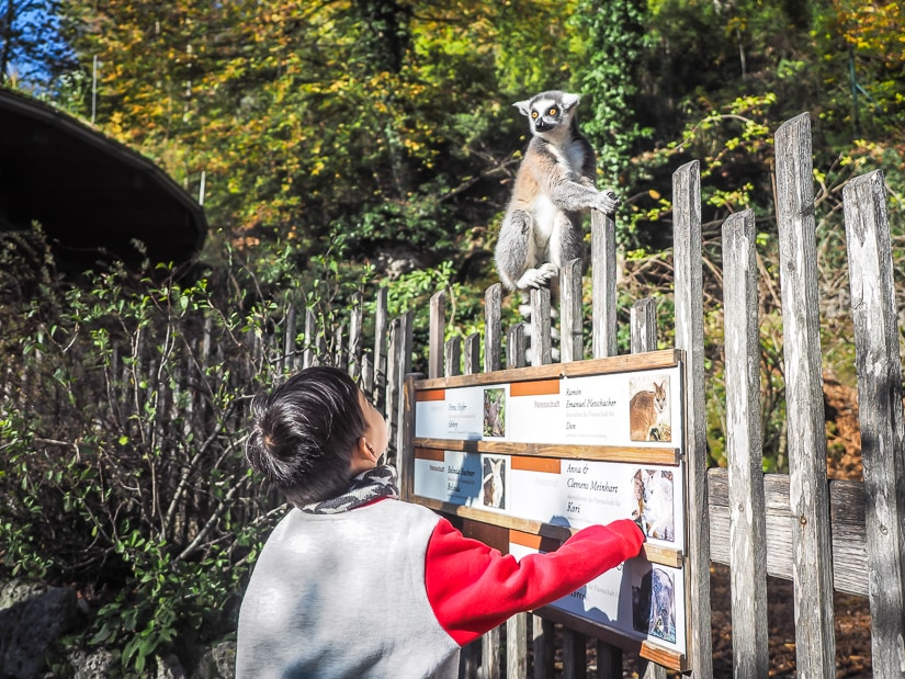 My son looking up at a lemur on a fence at the Salzburg Zoo
