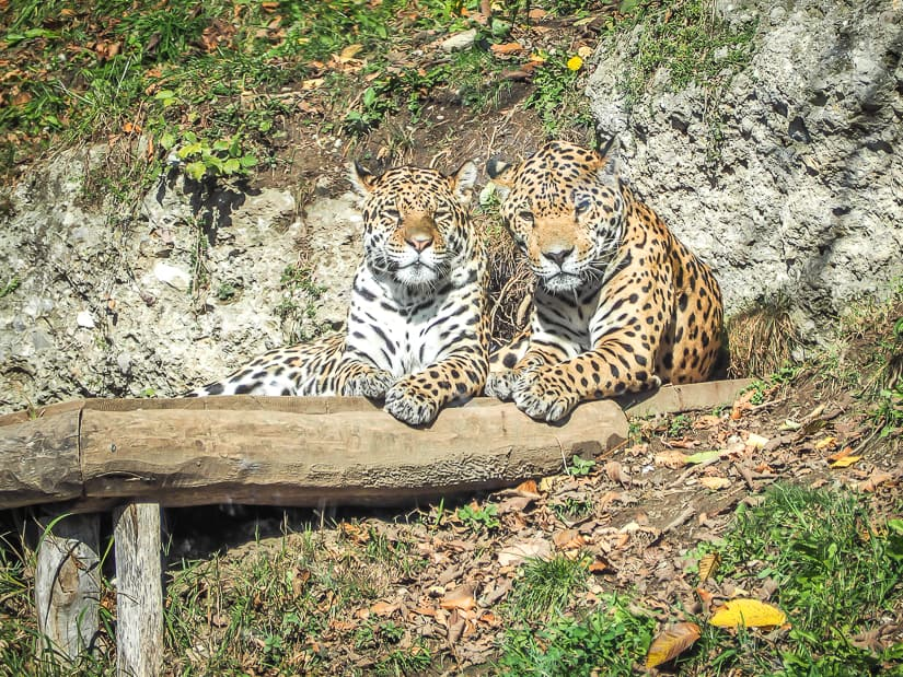 Leopard couple at Salzburg Zoo