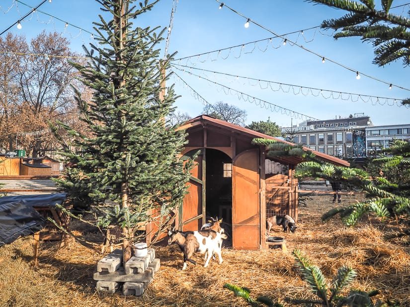 Goats and pigs in the middle of Karlsplatz Christmas Market, one of the best Christmas markets in Vienna for kids