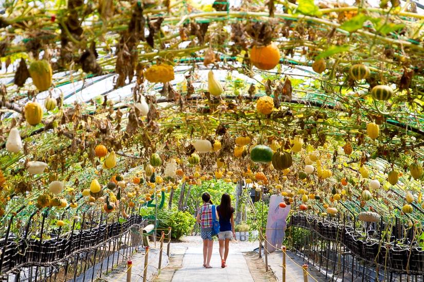 Pumpkin Farm in Yilan, Taiwan